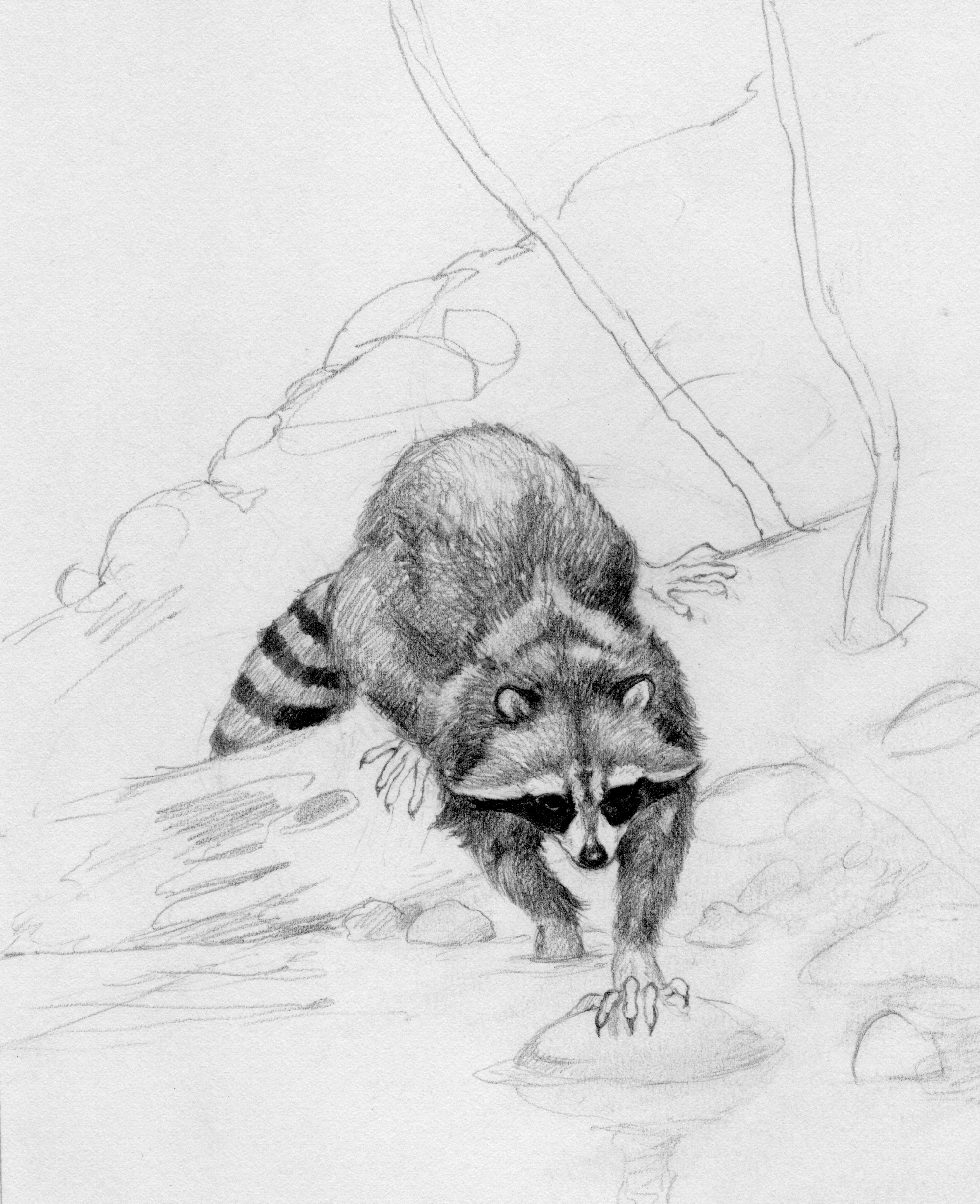 Drawn racoon pencil Art Pair The Pencils Monte