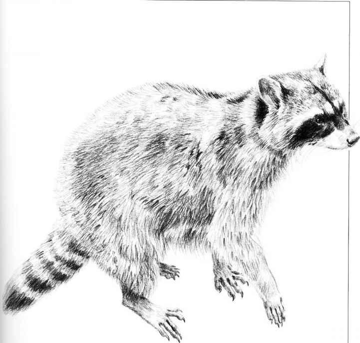 Drawn raccoon pencil RACCOON Small Animals: Drawing Drawings