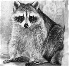 Drawn racoon pencil Images Available Graphite Pencil charcoal