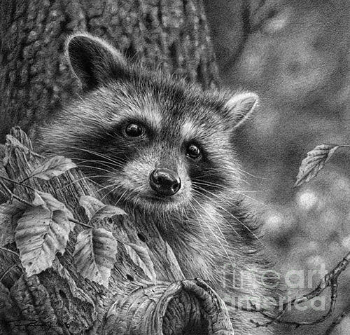 Drawn raccoon pencil Raccoon by by Young Jr