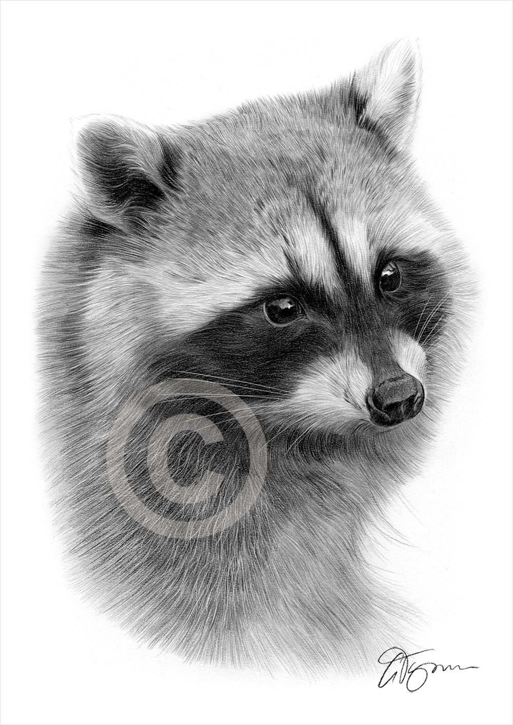 Drawn racoon pencil Tymon Pencil drawing by artist