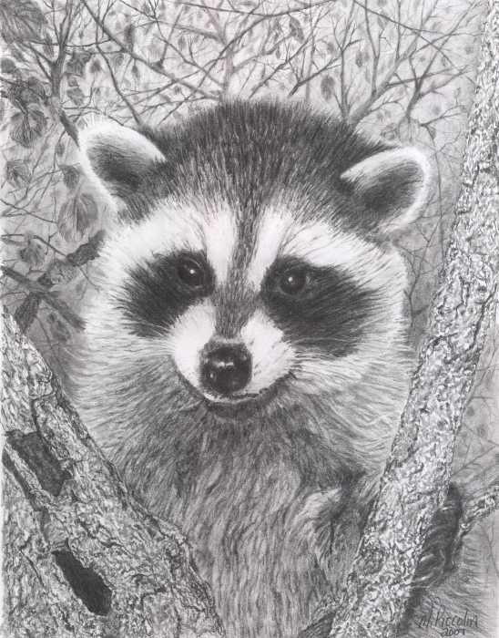 Drawn raccoon racoon RACCOONS Raccoon AND 275 Kit
