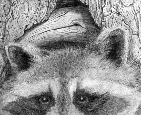 Drawn raccoon pencil & Painting