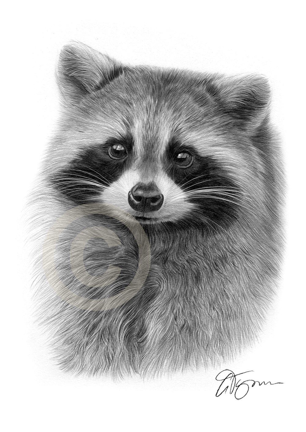 Drawn racoon pencil Artist Tymon pencil young Raccoon