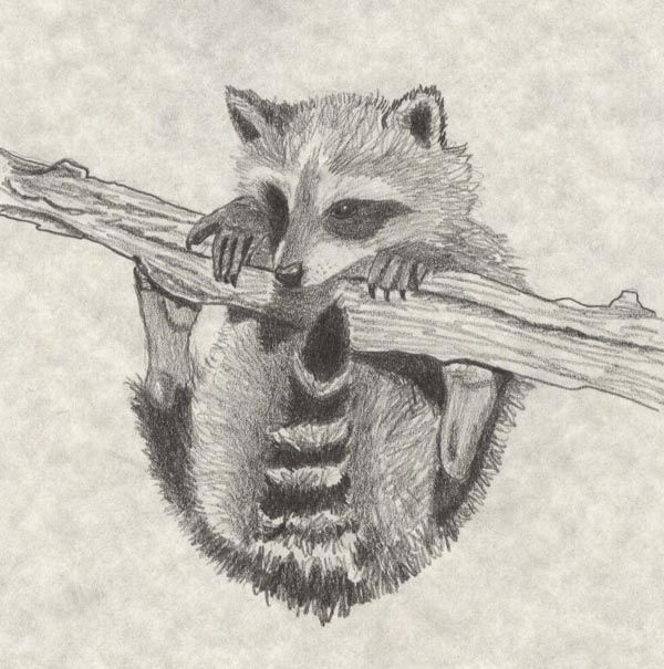 Drawn raccoon racoon More on Find best RACCOONS