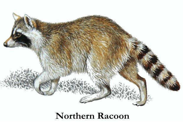 Drawn racoon racoon Raccoon Cryptomundo Calabasas Raccoons Calabasas