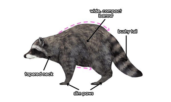 Drawn racoon racoon To and Draw Animals: to