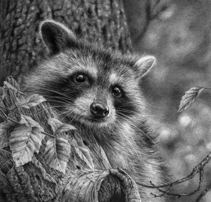 Drawn racoon realistic Art images Pinterest Raccoon and