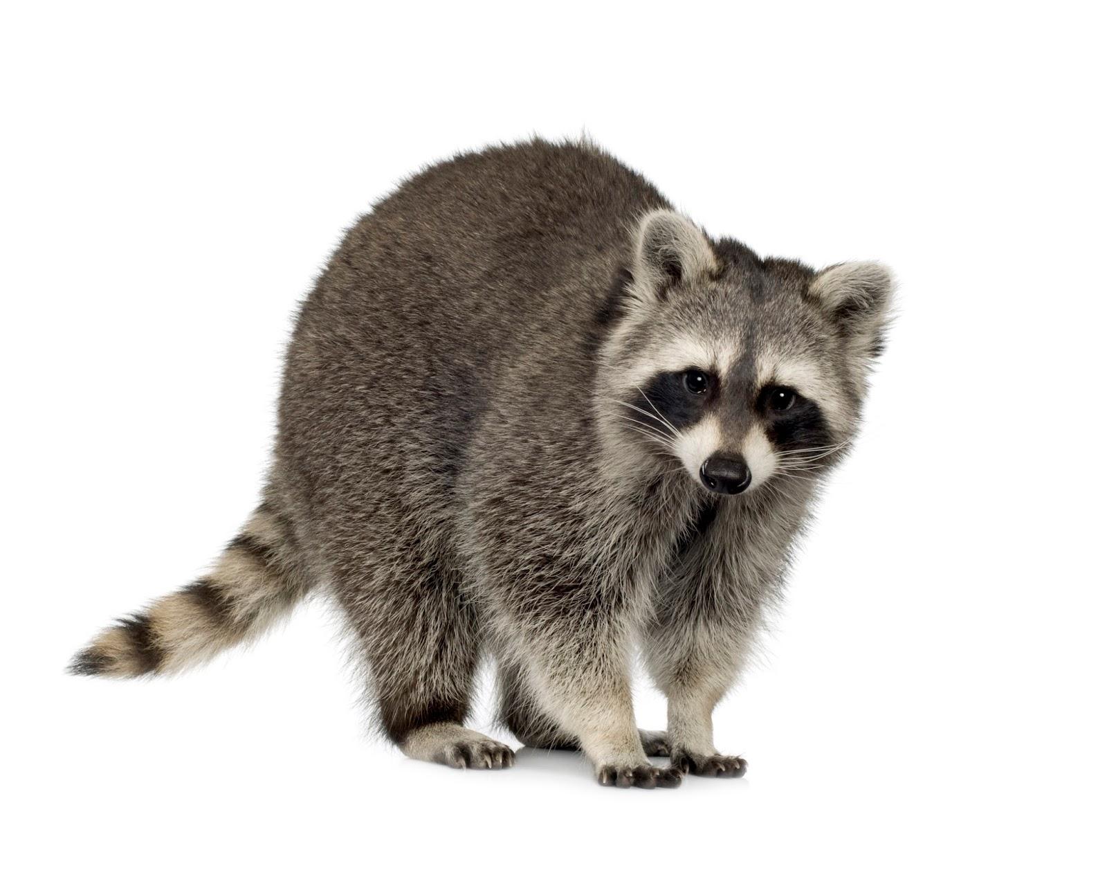 Drawn raccoon realistic July 2015 Tuesday July 166: