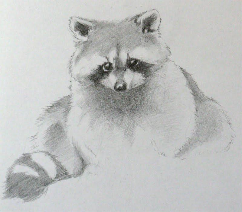 Drawn raccoon realistic Raccoons drawing raccoon drawing Drawings