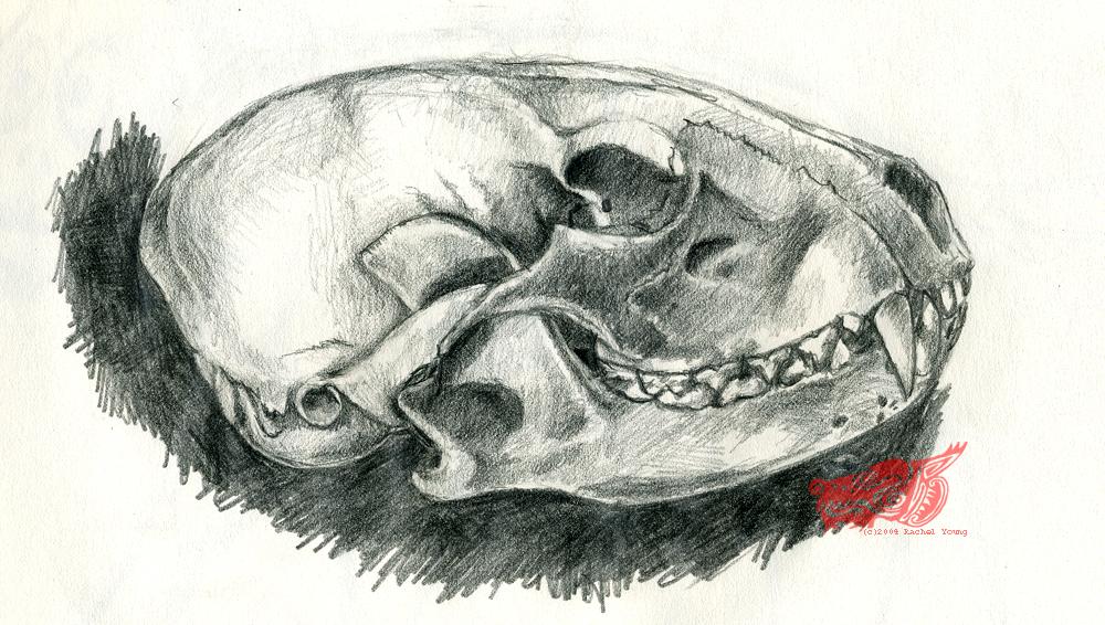 Drawn raccoon realistic Skull by Raccoon Skull by