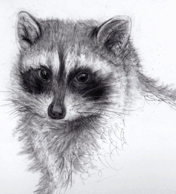 Drawn raccoon realistic Art drawings Animal animals Animal