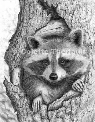 Drawn racoon realistic AND DRAWINGS  275 RACCOONS