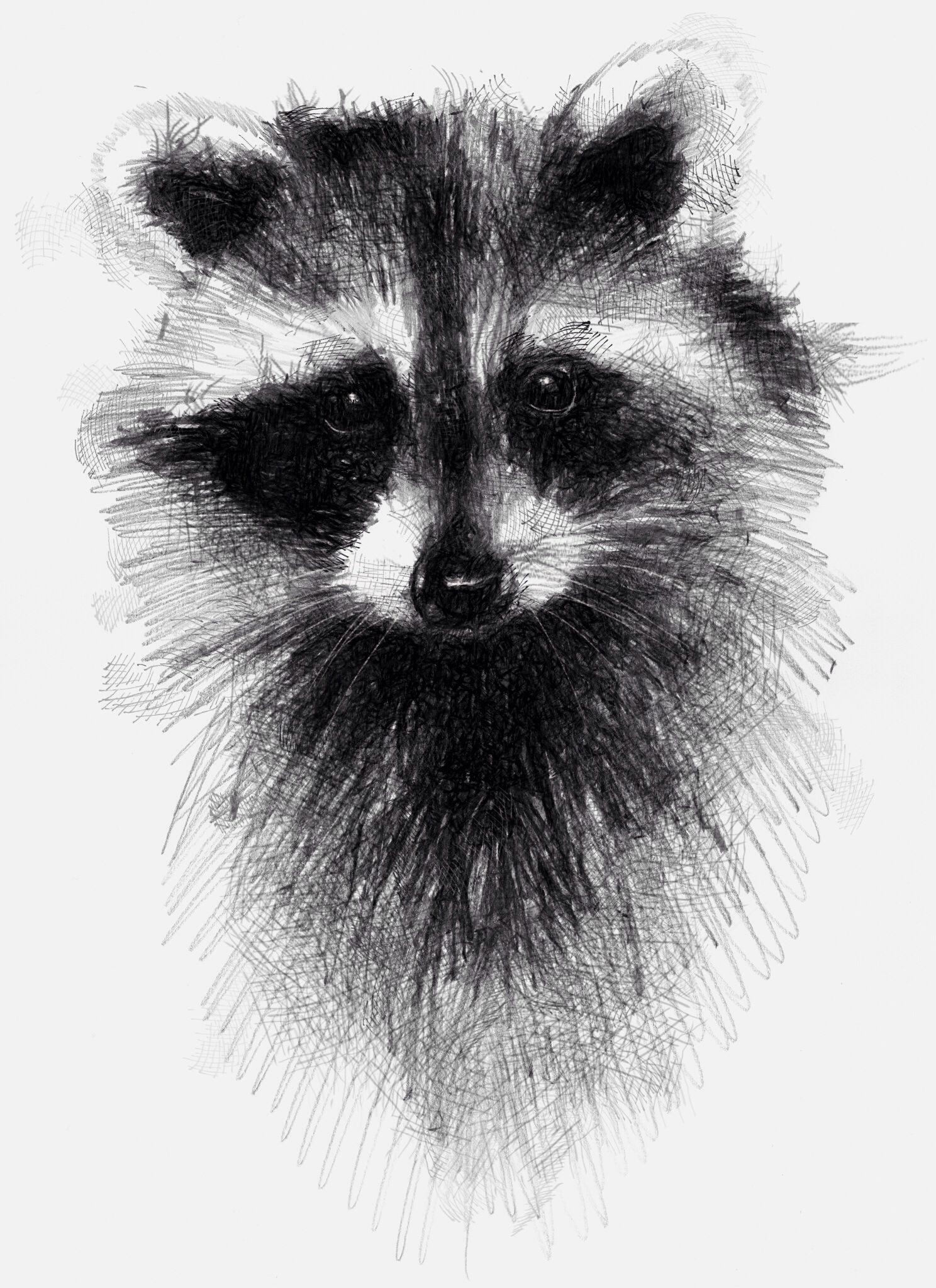 Drawn racoon sketch Racoon digital drawings Racoon with