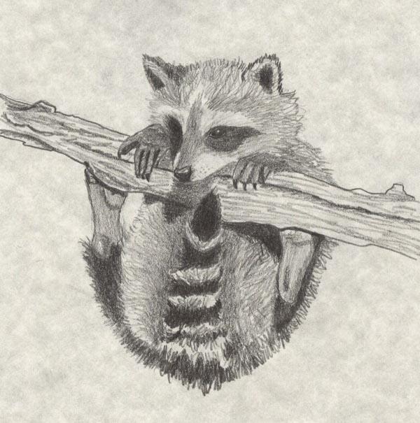 Drawn racoon sketch Find on Raccoon Sindah How
