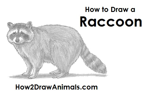 Drawn raccoon sketch Draw Raccoon a How to