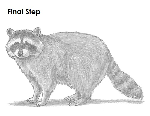 Drawn raccoon sketch To Raccoon Draw Last How