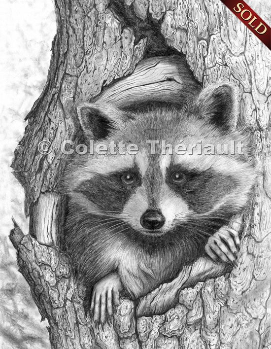 Drawn racoon tree drawing Drawings Rascally 194 Wildlife Art