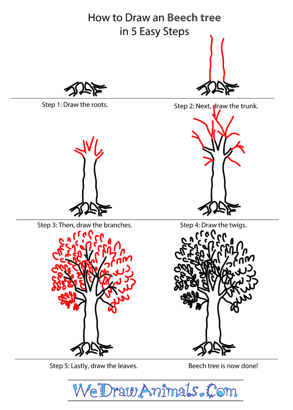 Drawn racoon tree drawing To a to a Beech