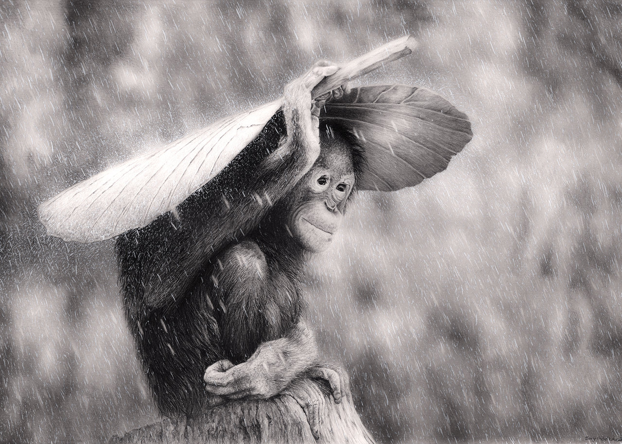 Drawn rain pencil sketch Bengtern Orangutan  by Bengtern