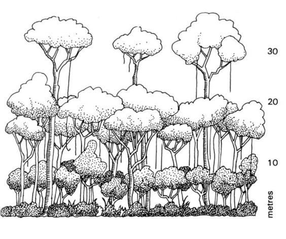 Drawn rainforest Image Canopy Gallery How Tree