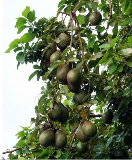 Drawn rainforest avocado tree Trees 103 Avocados images fruit