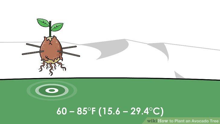 Drawn rainforest avocado tree Plant Tree Avocado wikiHow an