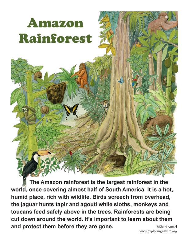 Drawn rainforest avocado tree Poster Amazon Amazon America Rainforest