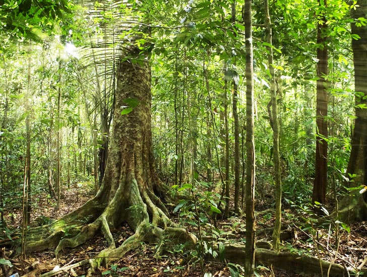 Drawn rainforest avocado tree Trees  Google amazon trees