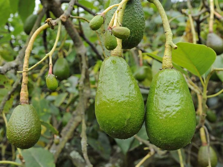 Drawn rainforest avocado tree Pictures Pinterest in avocado 121