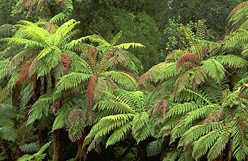 Drawn rainforest fern tree Fern Tree fern plant com