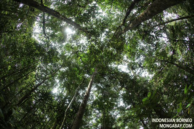 Drawn rainforest forest floor Canopy in forest The canopy