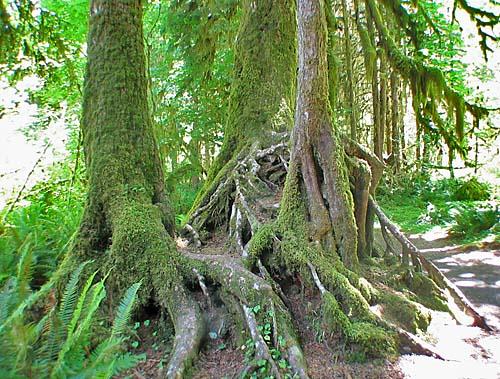 Drawn rainforest forest river Forest Rainforest Temperate Rain Hoh
