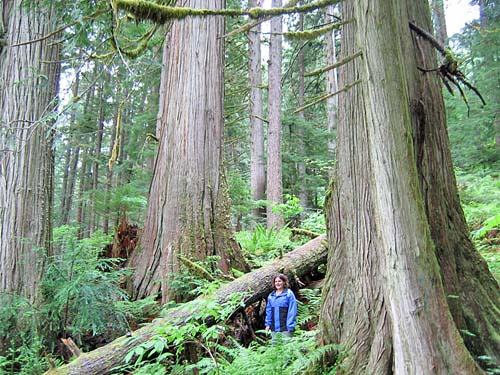 Drawn rainforest north america Park Temperate River Chilliwack Provincial