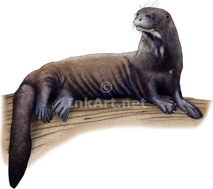 Drawn rainforest north america About Giant (Pteronura line Otter