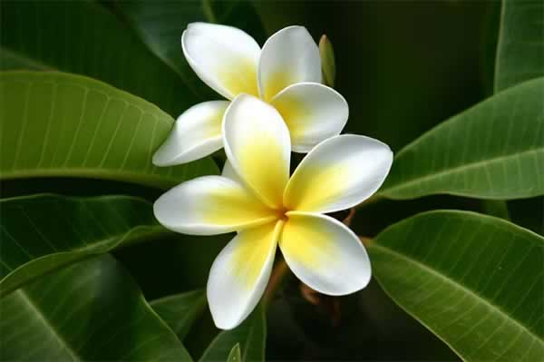 Drawn rainforest plumeria tree To Plumeria Photo/Link Alel Service