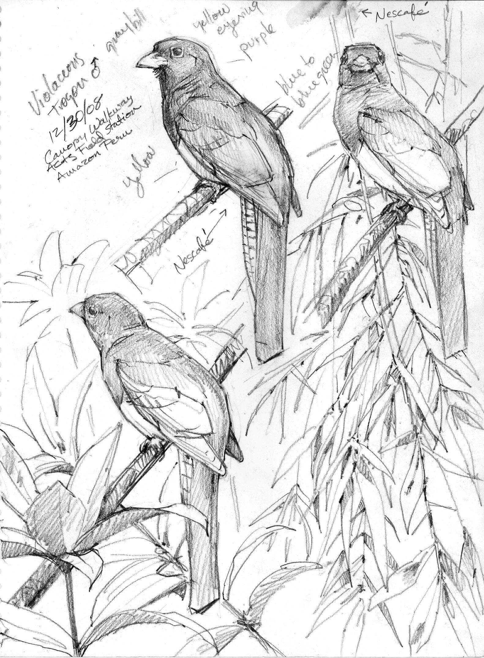 Drawn rainforest quetzal Nope – Peruvian the quetzal