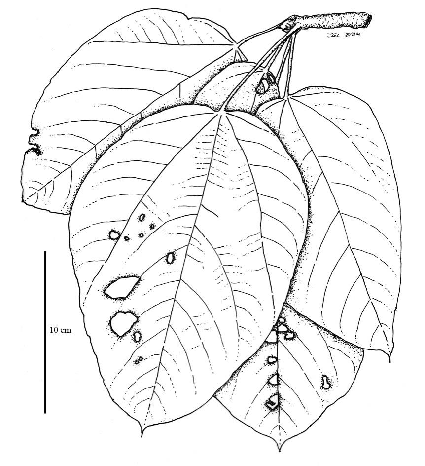 Drawn rainforest rainforest plant File:Sterculiaceae Plants jpg jpg Rainforest