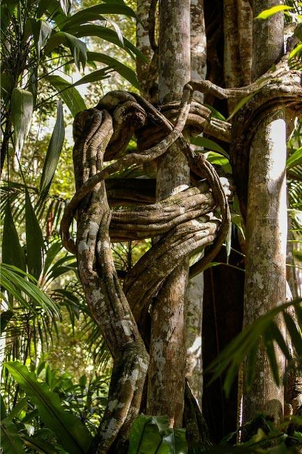Drawn rainforest strangler fig & Information List Facts Plants