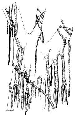 Drawn rainforest strangler fig JP Guide Rainforest Strangler Fig