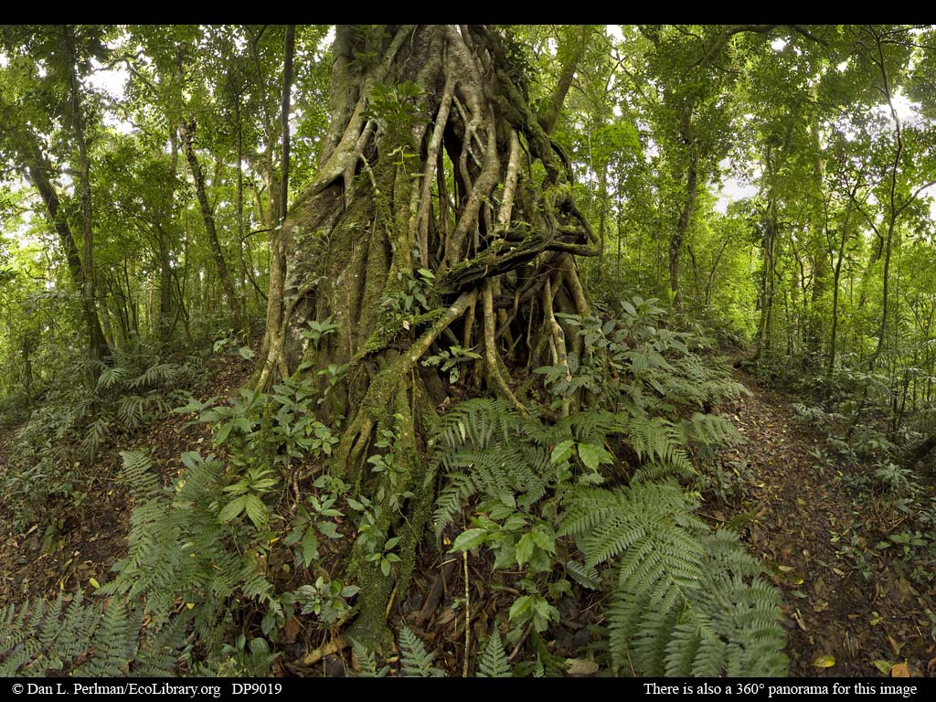 Drawn rainforest strangler fig In and HuffPost Takers Forest