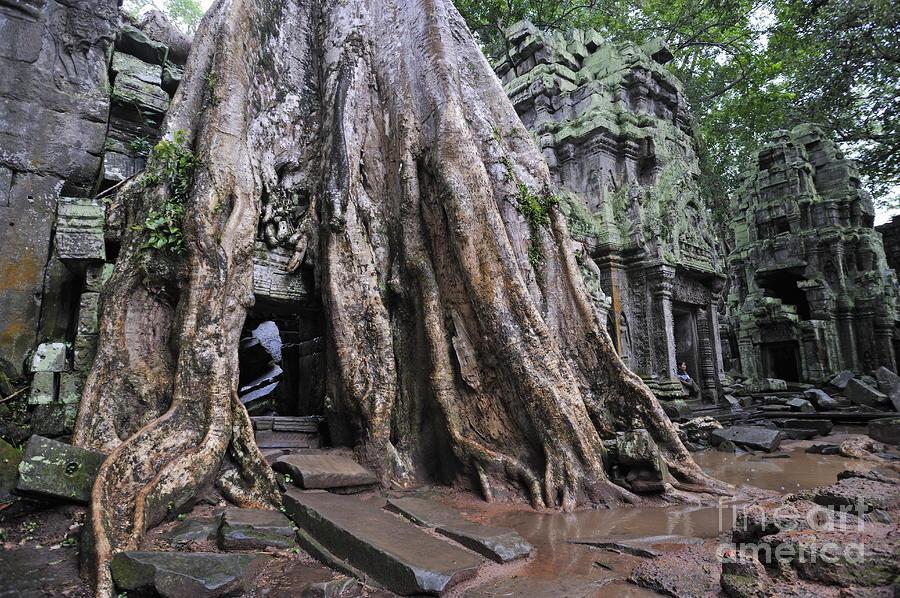 Drawn rainforest strangler fig Fig  Strangler Rainforest