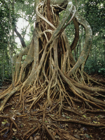 Drawn rainforest strangler fig In Strangler Host Costa its