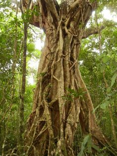 Drawn rainforest strangler fig Is another AU growing Queensland