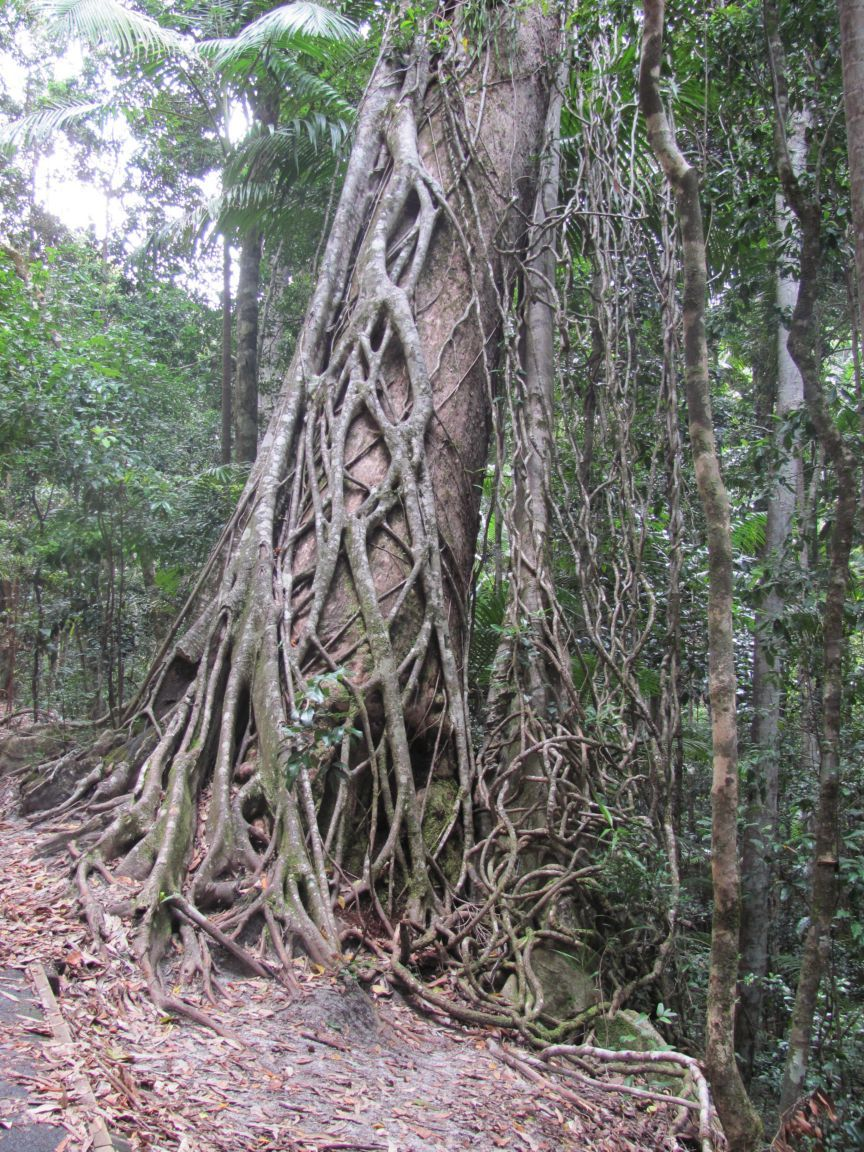 Drawn rainforest strangler fig About Learn Fig? 2012 Plants: