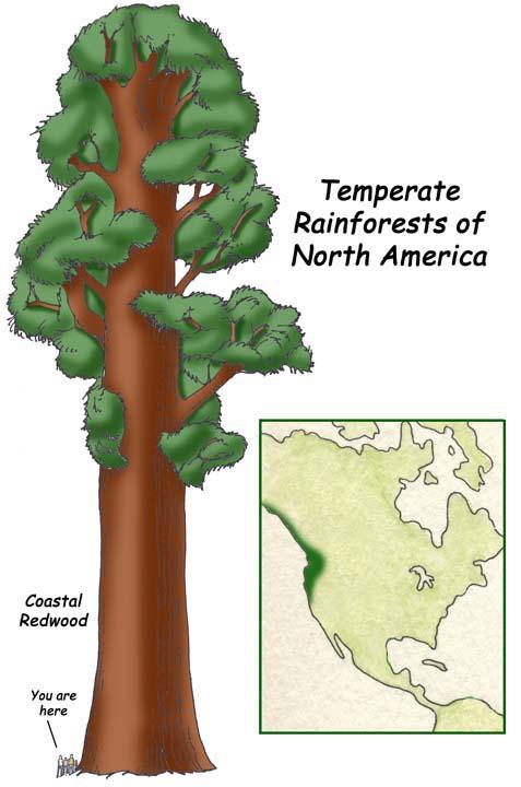 Drawn rainforest temperate rainforest Science: Teaching Find info/how exploringnature