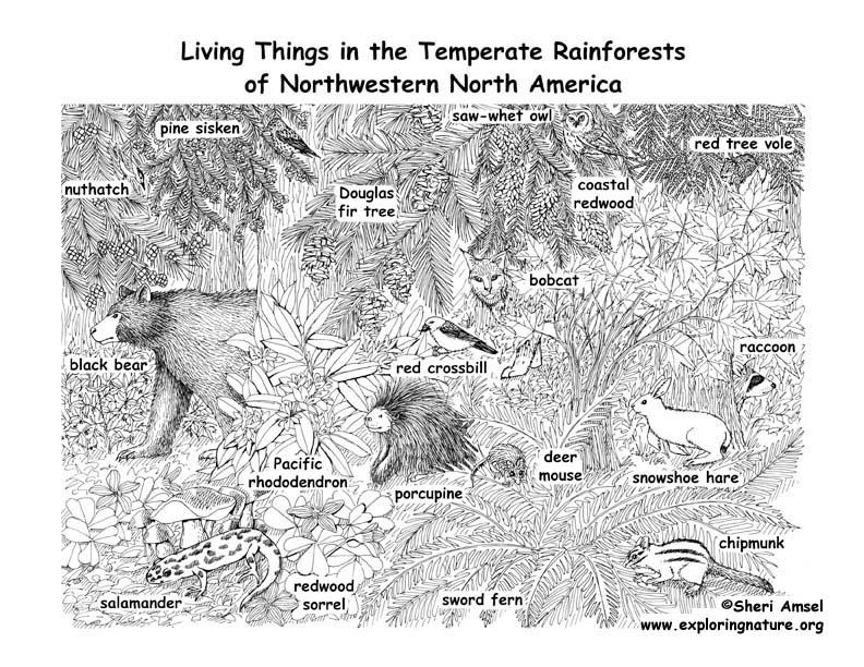 Drawn rainforest temperate rainforest Temperate Rainforests Rainforests