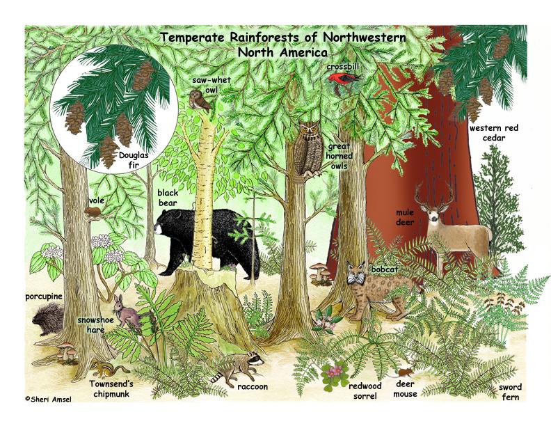 Drawn rainforest temperate rainforest Rainforests Temperate of America North