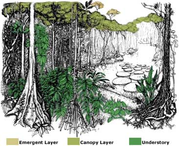 Drawn rainforest temperate rainforest Layers Rainforest Rainforest Layers Tropical
