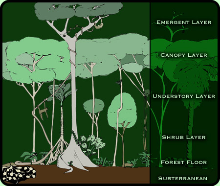 Drawn rainforest tropic Biome: Layers Rainforest Information Videos